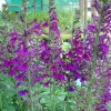 Lobellia vedrariensis
