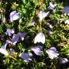 Mazus pumilo (purple)