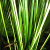Baumea rubiginosa (Variegated)
