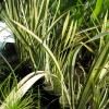 Acorus calamus 'variegatus'