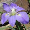 'Violet'