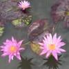 Nymphaea 'Pink Cactus'