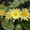 Nymphaea 'St Lious Gold'
