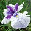Iris ensata (Purple White)
