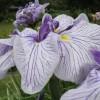 Iris ensata 'Sandman'