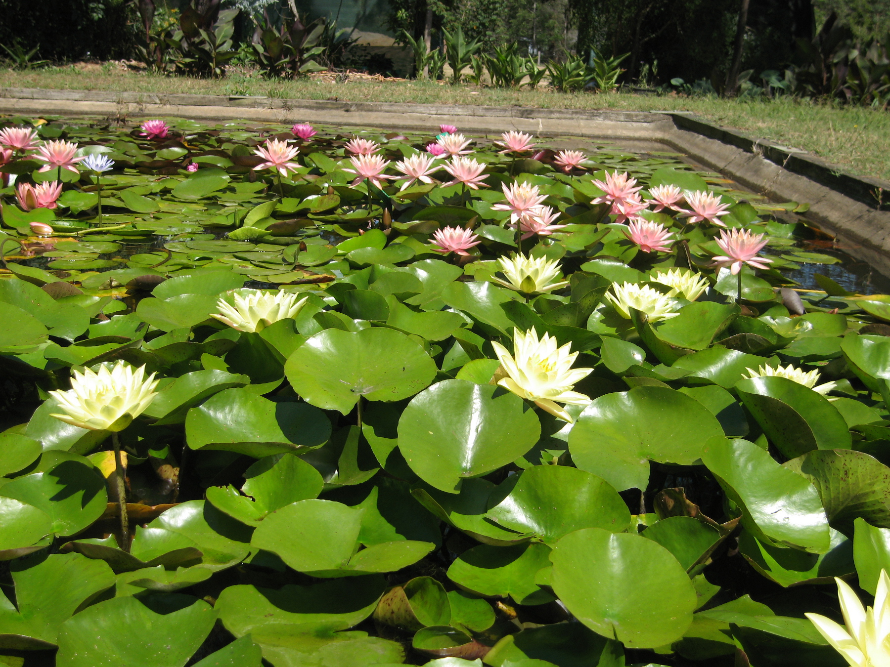 Growing water lilies water plants wallis creek watergarden for Using pond water for plants