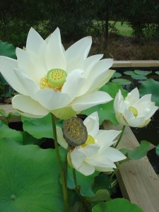 Angel Wings Lotus Flowers