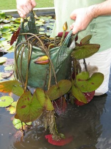 Water Lily in a Bag