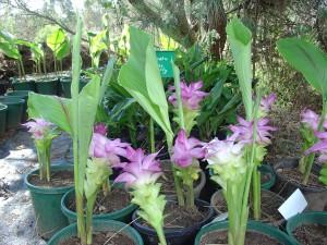 Cape York Lily