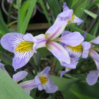 Iris 'Gerald Darby'