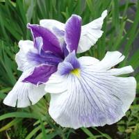 Iris ensata (Purple White)