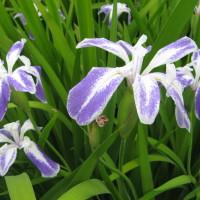 Iris laevigata albopurpurea