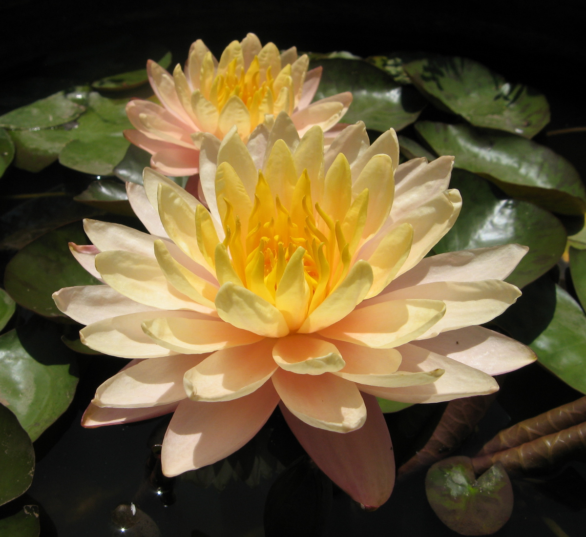 lotus flowers for sale - HD