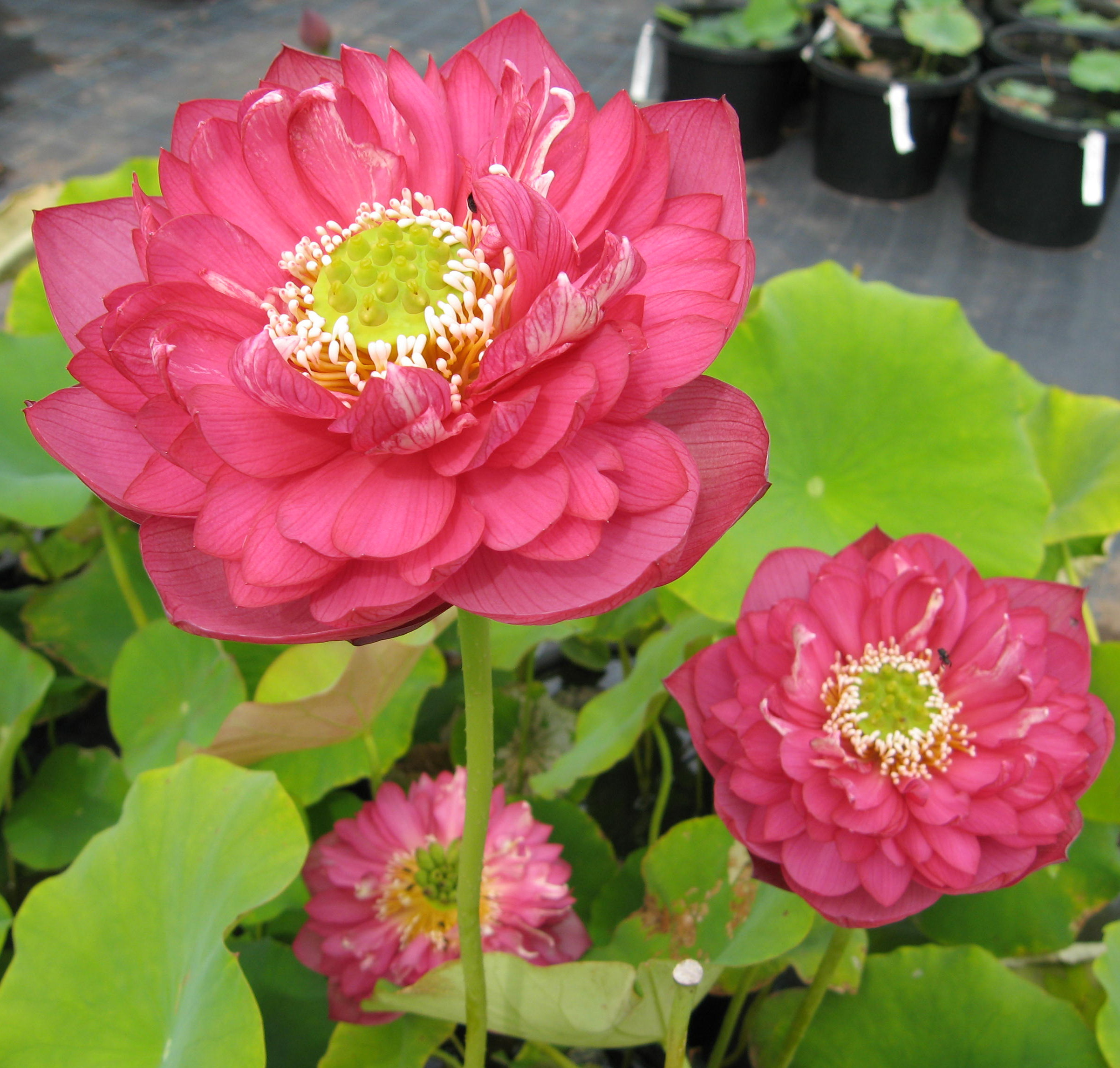 Sacred Lotus Page 2 Wallis Creek Watergarden