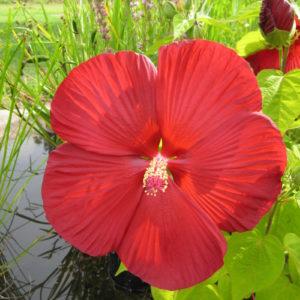 Hibiscus Wallis Creek Watergarden