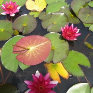 Miniature Dwarf Water Lilies Wallis Creek Watergarden